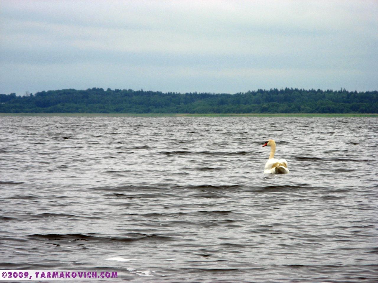Лебедь на озере Дривяты