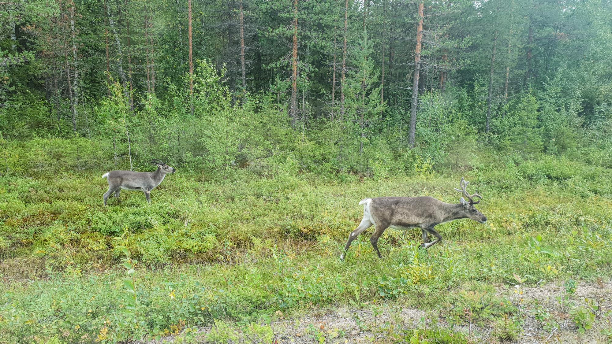 олени в Финляндии