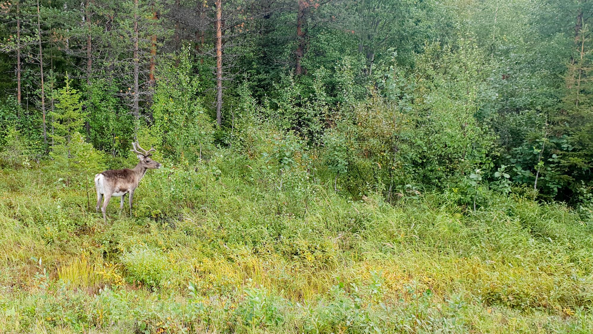 олень Финляндии